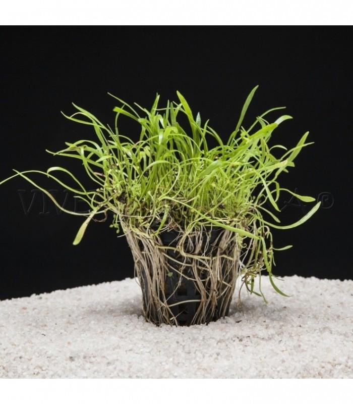 Planta de acuario lote de 4 macetas plantas acuarios for Plantas de acuario