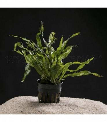 MICROSORIUM PTEROPUS MINI (HELECHO DE JAVA MINI)