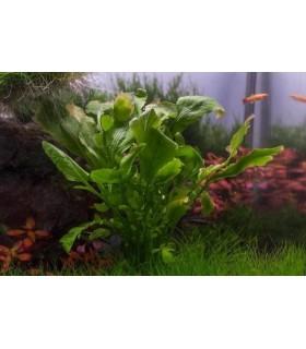 Plantas y accesorios de estanque plantas acuarios for Plantas de estanque
