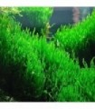 MUSGO FLAME MOSS (Taxiphyllum flame)