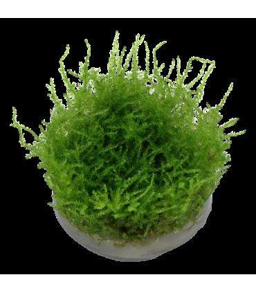 MUSGO DE JAVA (Vesicularia dubyana)
