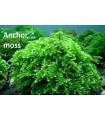 MUSGO ANCLA - Anchor Moss (Vesicularia anchori)
