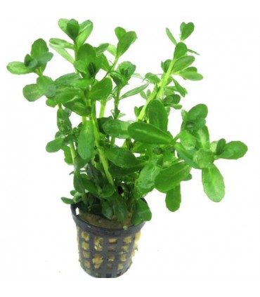 BACOPA MADAGASCARIENSIS