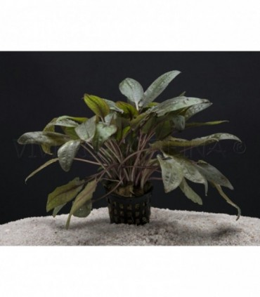CRYPTOCORYNE WENDTII BROWN